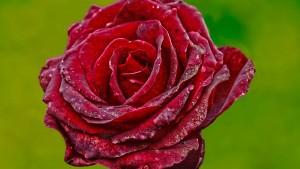 The Paper-Mache Rose